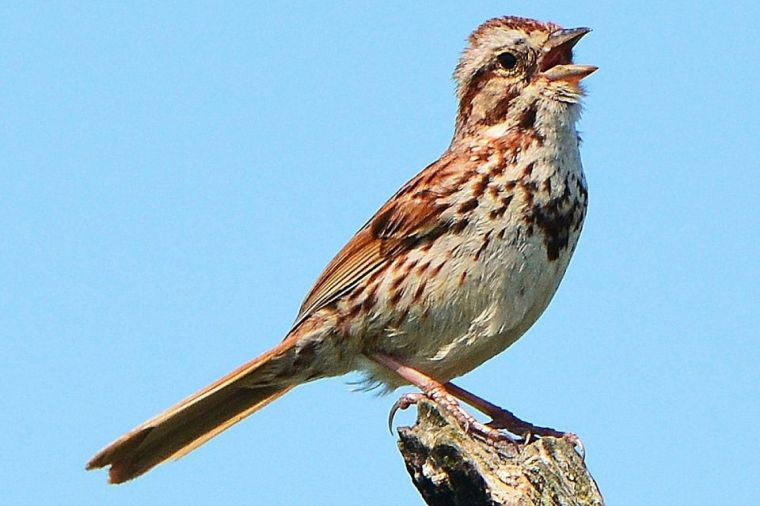 song-sparrow-sing-58a6d9af5f9b58a3c91533bf