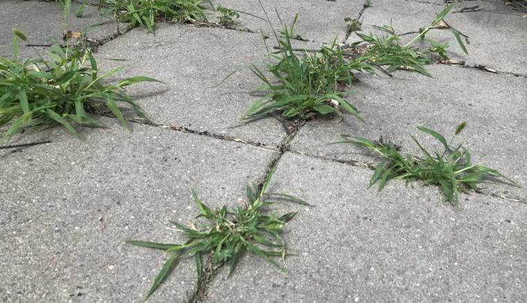 paver-patio-weeds