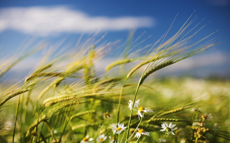 sunlight-grass-sky-field-wind-grain-Chamomile-wheat-Rye-cereal-blow-ears-steppe-barley-grassland-agriculture-meadow-prairie-crop-computer-wallpaper-grass-family-food-grain-commodity-triticale-emmer-ecoregion-hordeum-773722